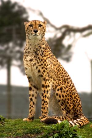 looking into camera: Head on Cheetah, sitting looking into camera