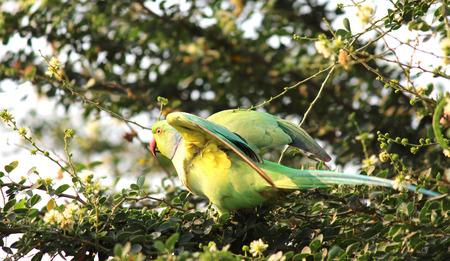 rose ringed parakeet Stockfoto