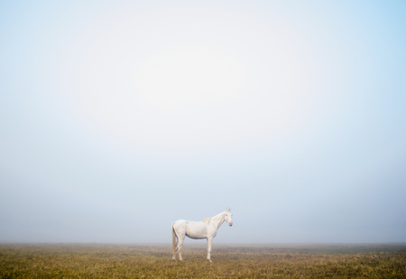 White horse standing still in a foggy winter morning...
