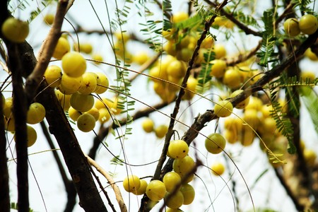 grosella: Indian gooseberry