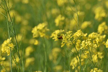 selective focus on mustard flower in a mustard field