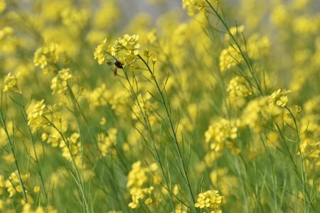 Mustard flowers with bee sucking honey from the flower
