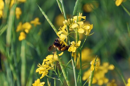 closeup shot of a honey bee sitting on a yellow mustard flower with green background Stock Photo