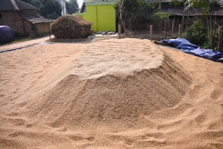 rice seeds spread in the ground under the open sky to dry before storing