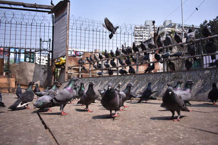A closeup image of a pigeon just started to take off