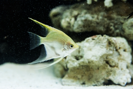 scalare: Angelfish  Pterophyllum scalare  in the fish tank