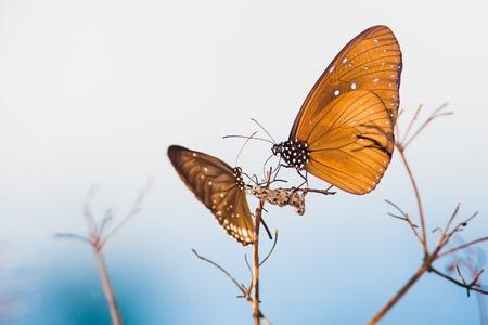 sanguisorba: butterfly thailand Stock Photo