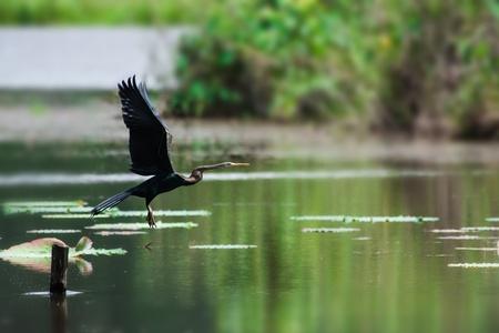 オープンの翼、黄色の水に座っているダーツを投げる人アンヒンガ キイロショウジョウバエ
