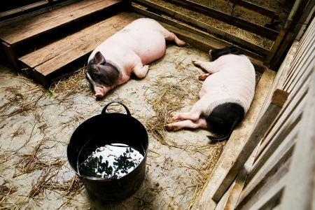 2 pig lying in the stall