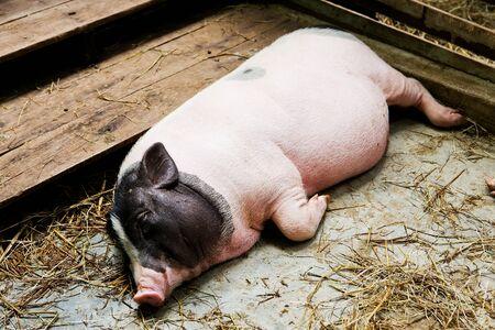 landrace: cerdo acostado en el establo