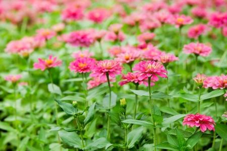 Beautiful zinnia  photo