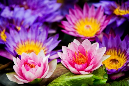 Beautiful lotus Stock Photo - 21626228