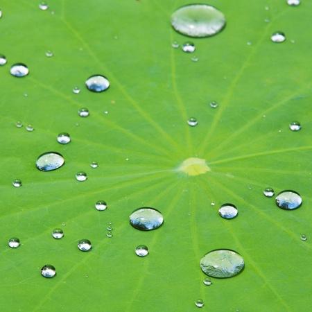 Gouttes d'eau sur feuille de lotus photo