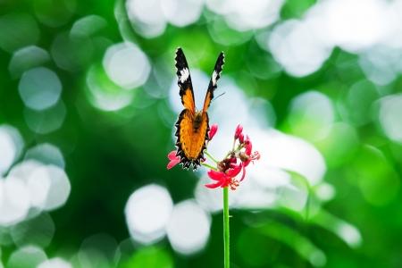 giant sunflower: Butterfly nectar