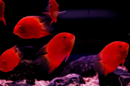 chidae: red cichlid fish, ruby red peacock fish Stock Photo