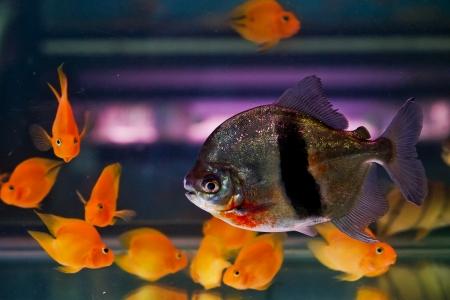 freshwater aquarium plants: Shoal of tropical piranha fishes in freshwater aquarium Stock Photo