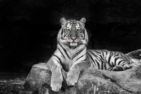 white tiger Standard-Bild