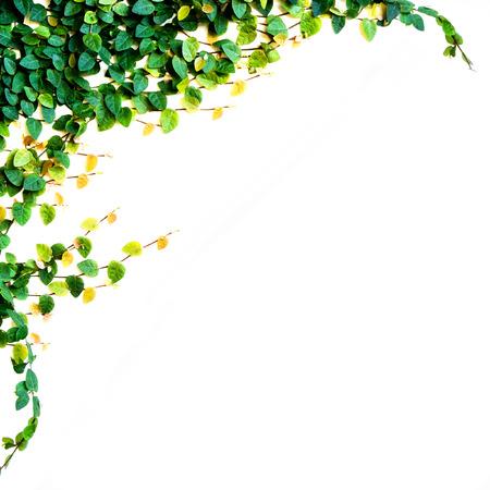 ツタの葉、白い背景で隔離