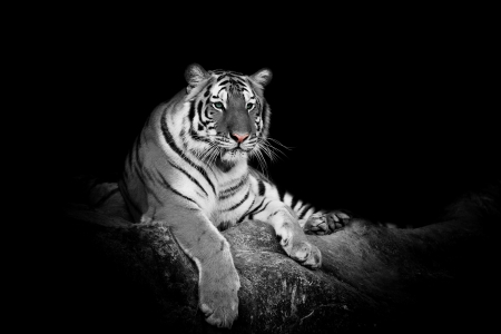 black and white panther: white tiger Stock Photo