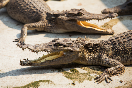 Small crocodiles in crocodile farm photo
