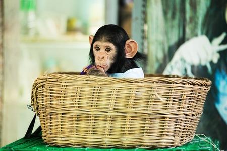 チンパンジー赤ちゃん