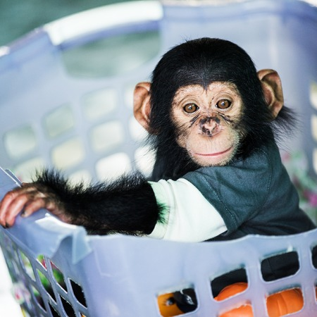 Chimpanzee baby Stock Photo - 26125361