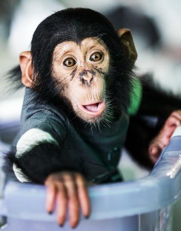 no teeth smile: Chimpanzee baby