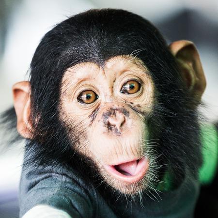 침팬지 아기 스톡 콘텐츠