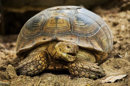 elongated: Elongated Tortoise - Indotestudo elongata Stock Photo