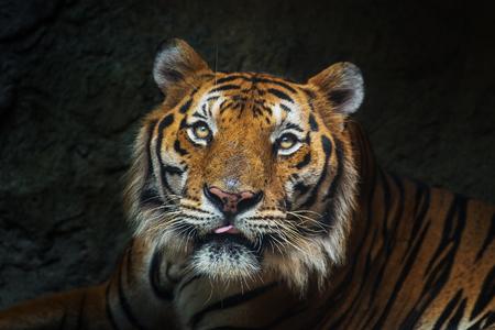 sumatran tiger: giovane tigre di Sumatra uscendo dall'ombra Tiger