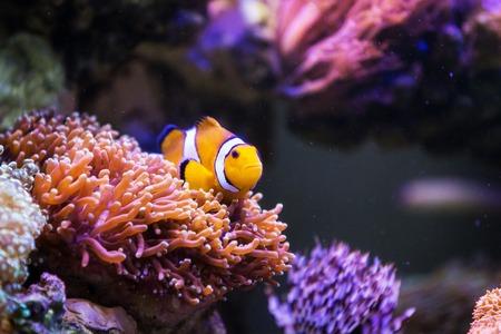 Clown Fisch Standard-Bild