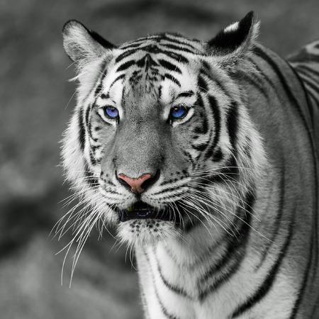 white tiger Zdjęcie Seryjne