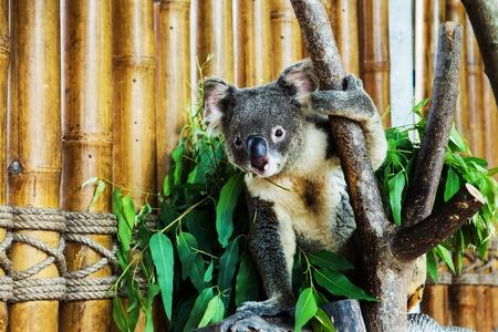 koala bear in the zoo