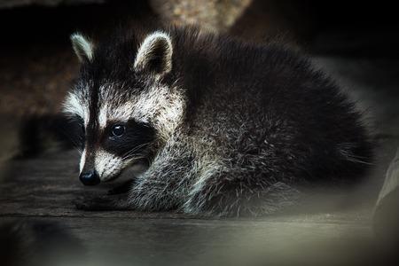 raccoons: Raccoon
