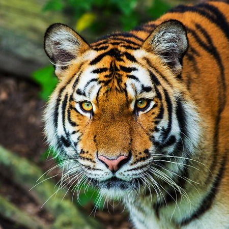 Tigre Banque d'images