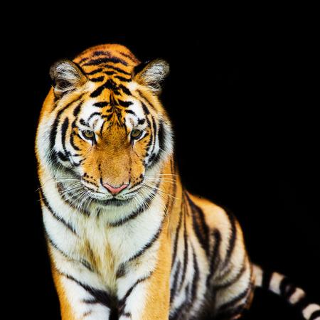 panthera tigris sumatrae: tiger walking out of shadow