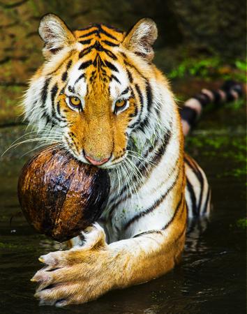 sumatran tiger: young sumatran tiger walking out of shadow Stock Photo