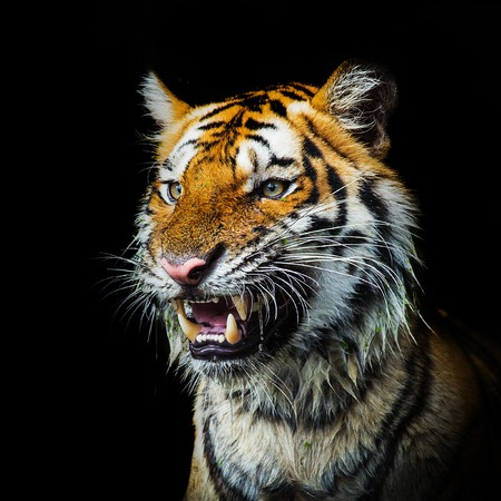 sumatran tiger: Young sumatran tiger walking out of phantom