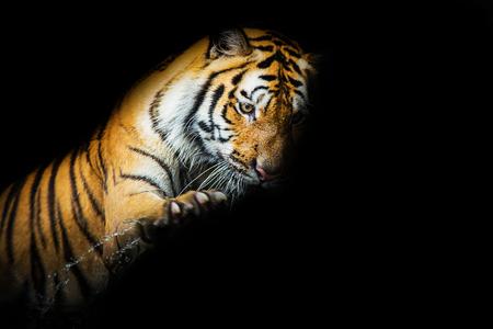sumatran tiger: Giovane tigre di Sumatra a piedi su phantom Archivio Fotografico