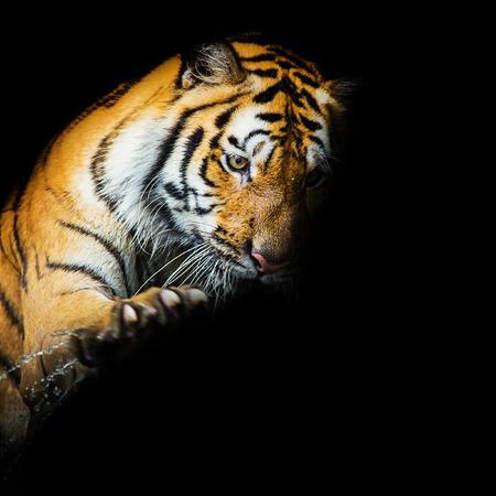 panthera tigris sumatrae: Young sumatran tiger walking out of phantom