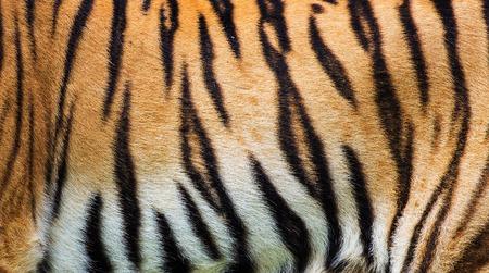 animal skin: close up tiger skin texture