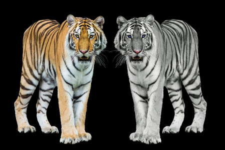 sumatran tiger: Young sumatran tiger