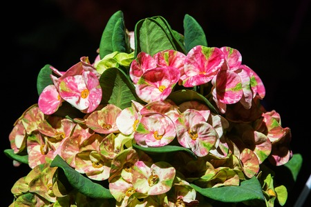 Crown of thorns flowers in the park photo