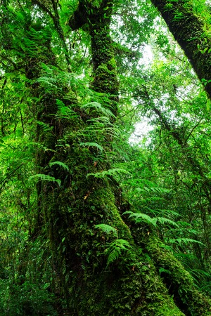The integrity of the forest. Doi Inthanon National Park. Chiang Mai, Thailand