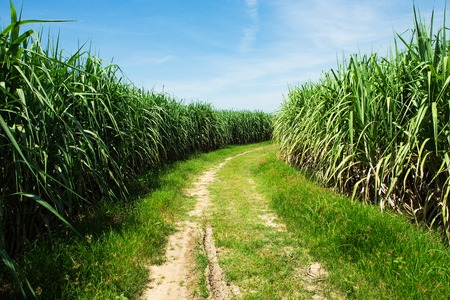 sugarcane: Sugarcane field and road with white cloud in Thailand