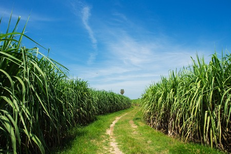 field of thai: Sugarcane field and road with white cloud in Thailand