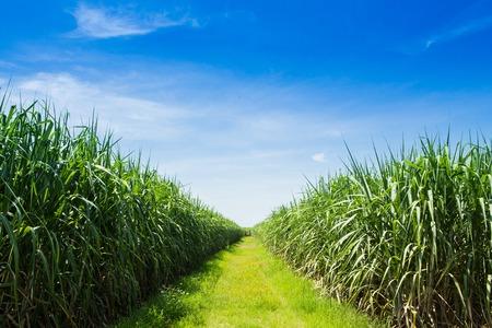 サトウキビ畑とタイの白い雲の道