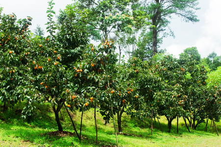 persimmon tree: Thailand persimmon tree ( kaki ) with fruits.