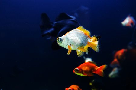 Goldfish in aquarium with green plants photo