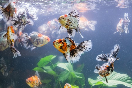 snag: Goldfish in aquarium with green plants, snag and stones